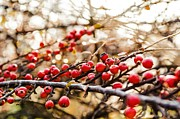 Winterly Forest Posters - Winter berryes. Poster by Slavica Koceva
