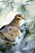 Winter Bird Mourning Dove Print by Christina Rollo