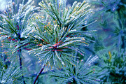 Pine Needles Digital Art Framed Prints - Winter Pine Framed Print by Bonnie Bruno