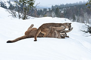 Cougars Prints - Winter Playground Print by Sandra Bronstein