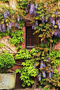 Wisteria In Bloom Framed Prints - Wisteria On a Home in Zellenberg France 3 Framed Print by Greg Matchick