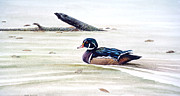 Wood Duck Painting Metal Prints - Wood Duck Swimming Metal Print by Richard Hauser