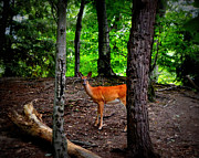 Michelle Calkins - Woodland Deer