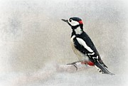 Woodpecker Framed Prints - Woodpecker Framed Print by Heike Hultsch