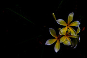 Donald Chen Metal Prints - Yellow Frangipani Metal Print by Donald Chen