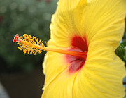 Jerry McElroy - Yellow Hibiscus