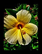 Platonic Digital Art - Yellow Hibiscus Photograph by Saribelle Rodriguez by Saribelle Rodriguez
