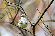 Yellow Warbler Posters - Yellow Rumped Warbler Female Myrtle Poster by Christina Rollo