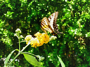 Swallowtail Posters - Yellow Swallowtail on Yellow Lantana Poster by Susan Savad