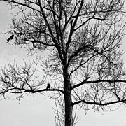 Buy Sell Photo Posters -  Birds On The Tree 40 Poster by Benny  Woodoo