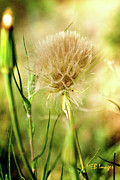 All -  Dandelion Flower by Margaret Buchanan