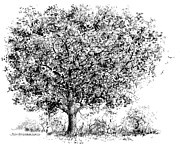 Iowa Drawings -  Oak by Jim Hubbard