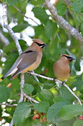 Birds -  Pair Of Cedar Waxwings by Kathy Gibbons