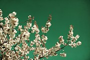 Sonya Kanelstrand Prints -  White cherry blossoms Print by Sonya Kanelstrand