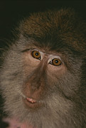 Macaques Prints - A Close View Of The Face Print by Tim Laman