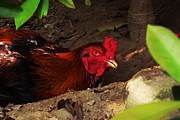 Rooster Photographs Framed Prints - Angry Rooster Framed Print by Yiching Tang