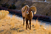 Dennis Fast - Bighorn Sheep near...
