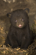 Black Bear Cubs Photos - Black Bear 7 Week Old Cub In Den by Suzi Eszterhas