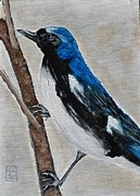 Warbler Paintings - Black Throated Blue Warbler by Holly Donohoe