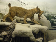 Mary Ann  Leitch - Bobcat Diorama