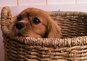 Edward Fielding - Cavalier King Charles Spaniel Puppy in...