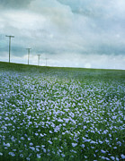 Sandra Cunningham - Field of flax seed flowers on the...