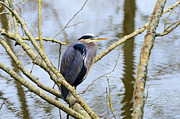 Lawrence Christopher - Great Blue Heron