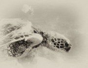 Michael Peychich - Green Sea Turtle