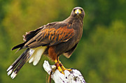 Bill Barber - Harris Hawk