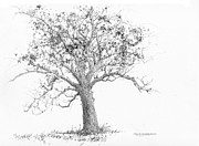 Indiana Drawings Prints - Indiana-Tulip Poplar Print by Jim Hubbard