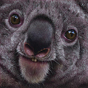 Koala Bear Framed Prints - Koala Framed Print by Jurek Zamoyski