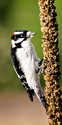 Clark Fork - Id - Male Downy Woodpecker  by Albert Seger