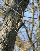 Woodpecker Art - Red Bellied Woodpecker by Neal  Eslinger
