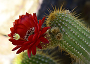 Saija  Lehtonen - Red Torch Cactus