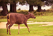 Jenny Rainbow - Sambar Deer. Horton Plains National...