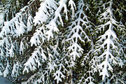 Evergreen Trees Posters - Snowy fir tree Poster by Sami Sarkis