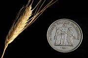 Female Likeness Posters - Wheat next to a French fifty franc coin Poster by Sami Sarkis
