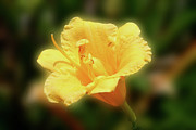 Thin Originals - Yellow Day Lily by Michael Waters
