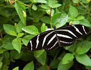 Warren Thompson - Zebra Longwing