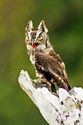 Bill Barber - Eastern Screech Owl