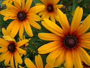 Black-eyed Susan Framed Prints - Flower Power Framed Print by Paul Slebodnick