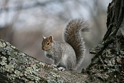 Home Decor Framed Prints - Gray Squirrel Framed Print by Neal  Eslinger