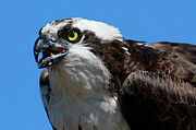 Osprey Prints Framed Prints - Osprey Framed Print by Paul Marto