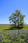 Wild Flowers Of Texas Framed Prints - Pastures of Blue Framed Print by Lynnette Johns