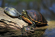 Reptiles - Red-bellied Turtle Photo by Meg Rousher