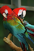 Scott Hovind - 2 Red Macaws
