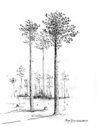 Alabama Drawings Prints - Southern Longleaf Pine Print by Jim Hubbard