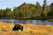American Bison Originals - Bison by Southern Utah  Photography
