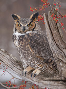 Bittersweet Photo Framed Prints - Great Horned Owl Framed Print by Cindy Lindow