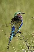 Michele Burgess - Lilac-Breasted Roller